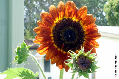 Chianti Hybrid Sunflower Blossom at 69 days on May 26, 2018