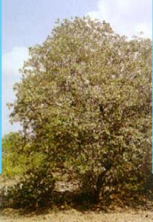 Mengenal Mangrove : Avicennia lanata (Ridley)
