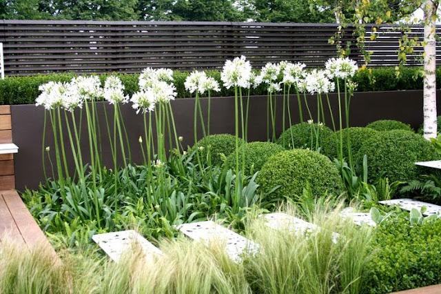 agapanthus, flori albe, gradina minimalista, gradina moderna, arhitect peisagist, amenajare gradina, bucuresti