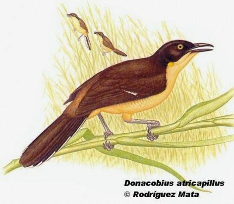 Angú, Donacobius atricapilla