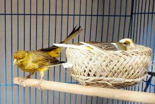 Solusi Penangkaran Burung Kenari - Burung Kenari Yang Ideal Untuk Di Tangkarkan Sesuai Umurnya
