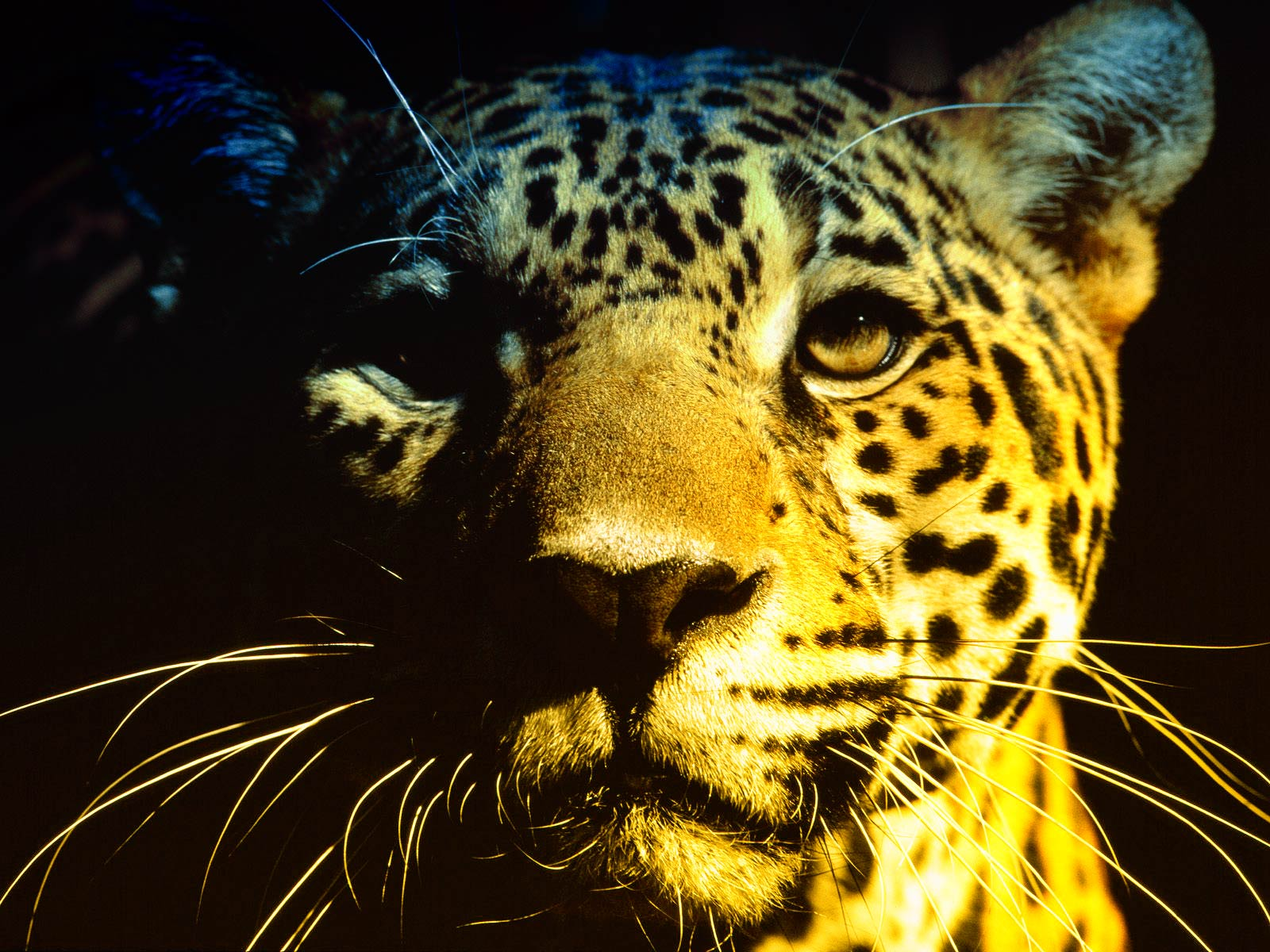Wallpaper of jaguar awesome wallpapers - Jaguar animal hd wallpapers ...