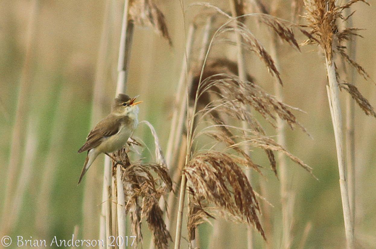 Suffolk Warblers