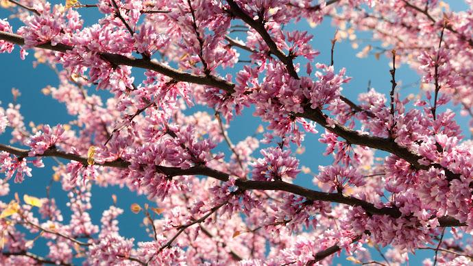 Wallpaper: Pink Blossoms