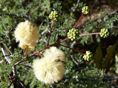 Acacia gilliesii