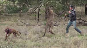 Man Punches Kangaroo In The Face To Save His Dog