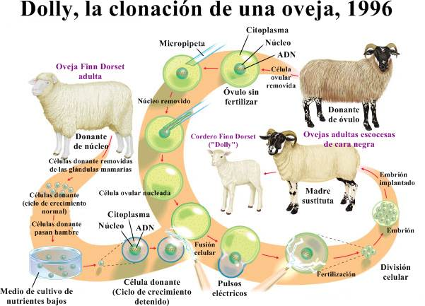 La oveja dolly y el proceso de su clonado