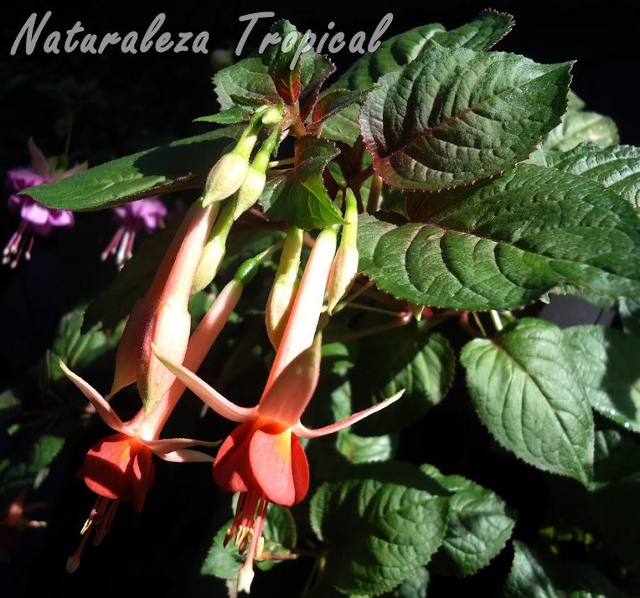 Flor con sépalos blancos amarillentos y numerosos pétalos naranjas de una Fuchsia, Pendientes de la Reina o Fucsia
