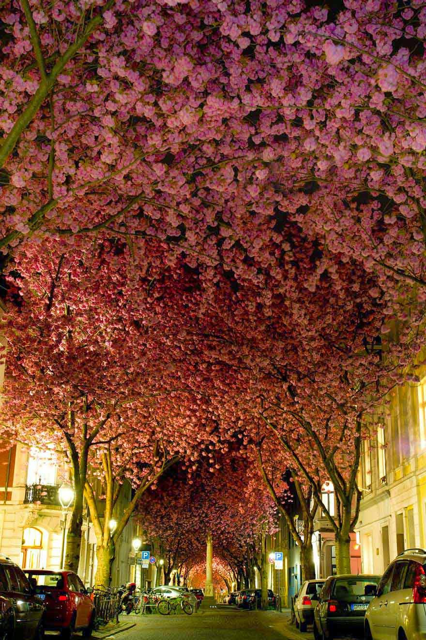 #6. Cherry blossoms in Bonn, Germany - 16 Of The Most Magnificent Trees In The World.