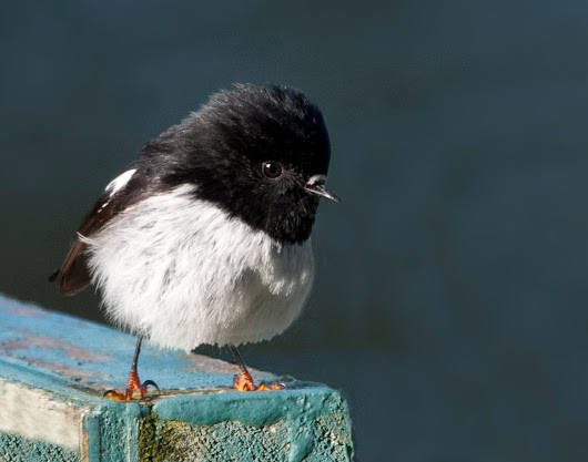 Miromiro, also known as North Island white-breasted tit or pied tit.