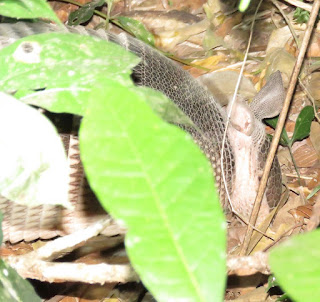 Dasypus kappleri, Great Long-nosed Armadillo