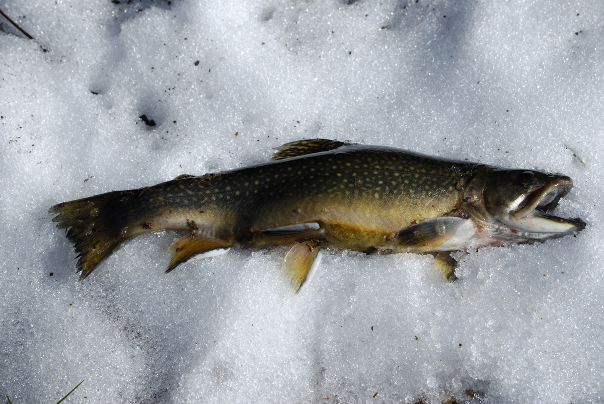 High Virginia Outdoors: WV Trout Stocking Changes