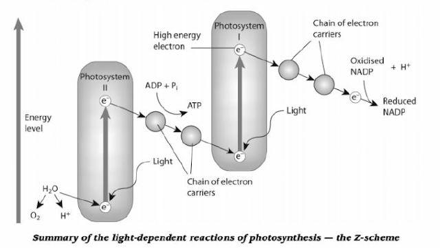 photosynthesis z scheme diagram white rodgers fan center relay wiring # 102 the light-dependent reactions, photophosphorilation | biology notes for a level