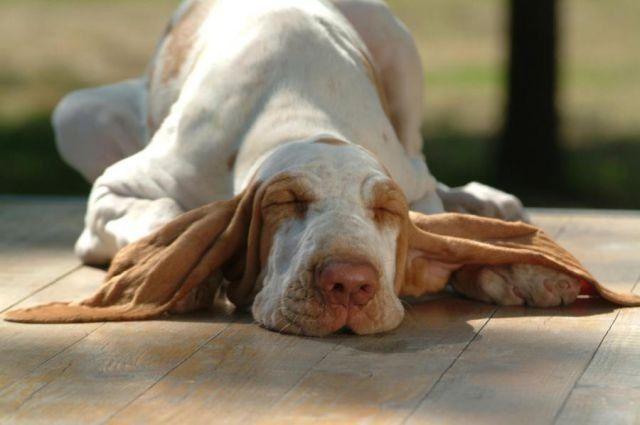 Perro orejon