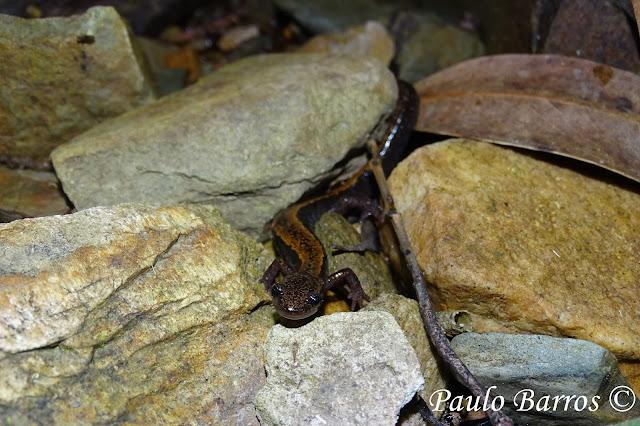 Salamandra Rabilarga