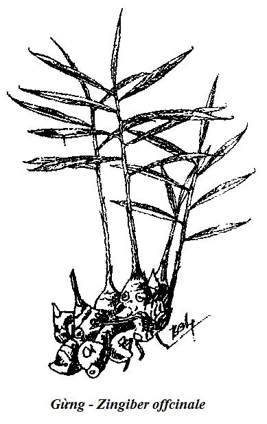 Hình vẽ Gừng - Zingiber offcinale - Nguyên liệu làm thuốc Chữa Bệnh Tiêu Hóa