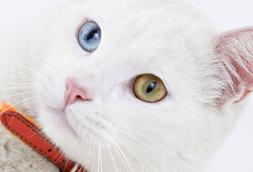 Blue Green Eyed Cat Animals Library