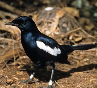 Burung Kacer jawa atau lokal atau Hitam
