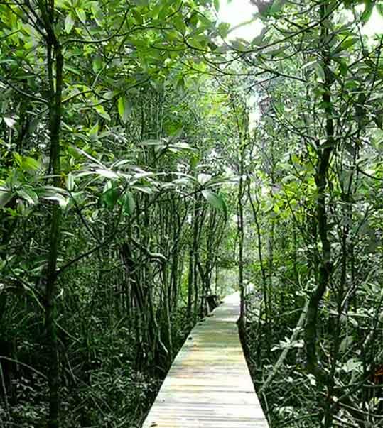 Hutan Mangrove Desa Sebubus, Setingga