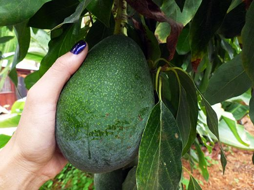 Definition and etymology of Avocado, Random Stuff You May Not Know by Omar Cherif, One Lucky Soul