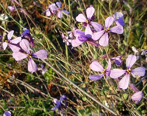 Collejón (Moricandia arvensis) flor silvestre azul