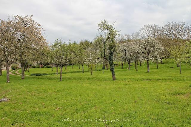 kwitnące jabłonie - wiosna w Normandii