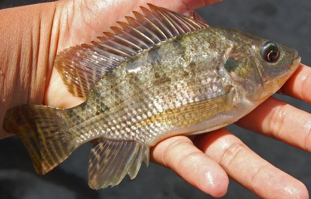 Pembenihan dan Teknik Pemijahan Ikan Nila