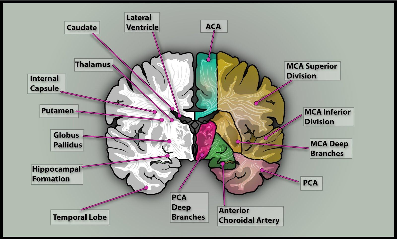 brain cross section diagram wiring for rv plug steven 39s stuff medical illustrations  3
