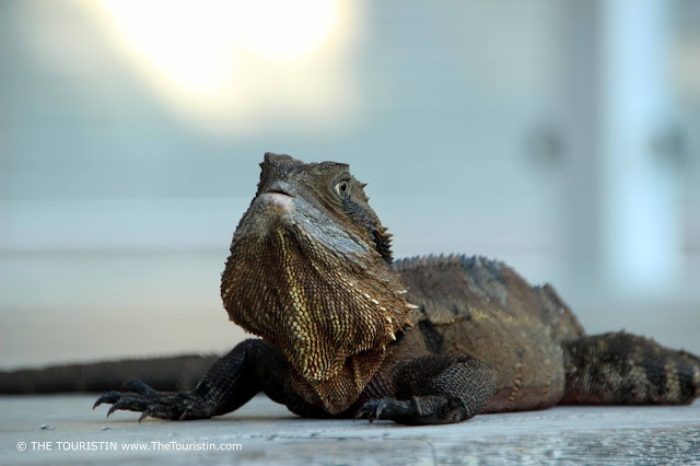 Inquisitive looking large Water Dragon holding its head up while sitting onon wooden floorboards.