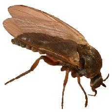 Mosquito Borrachudo (Simulium pertinax)