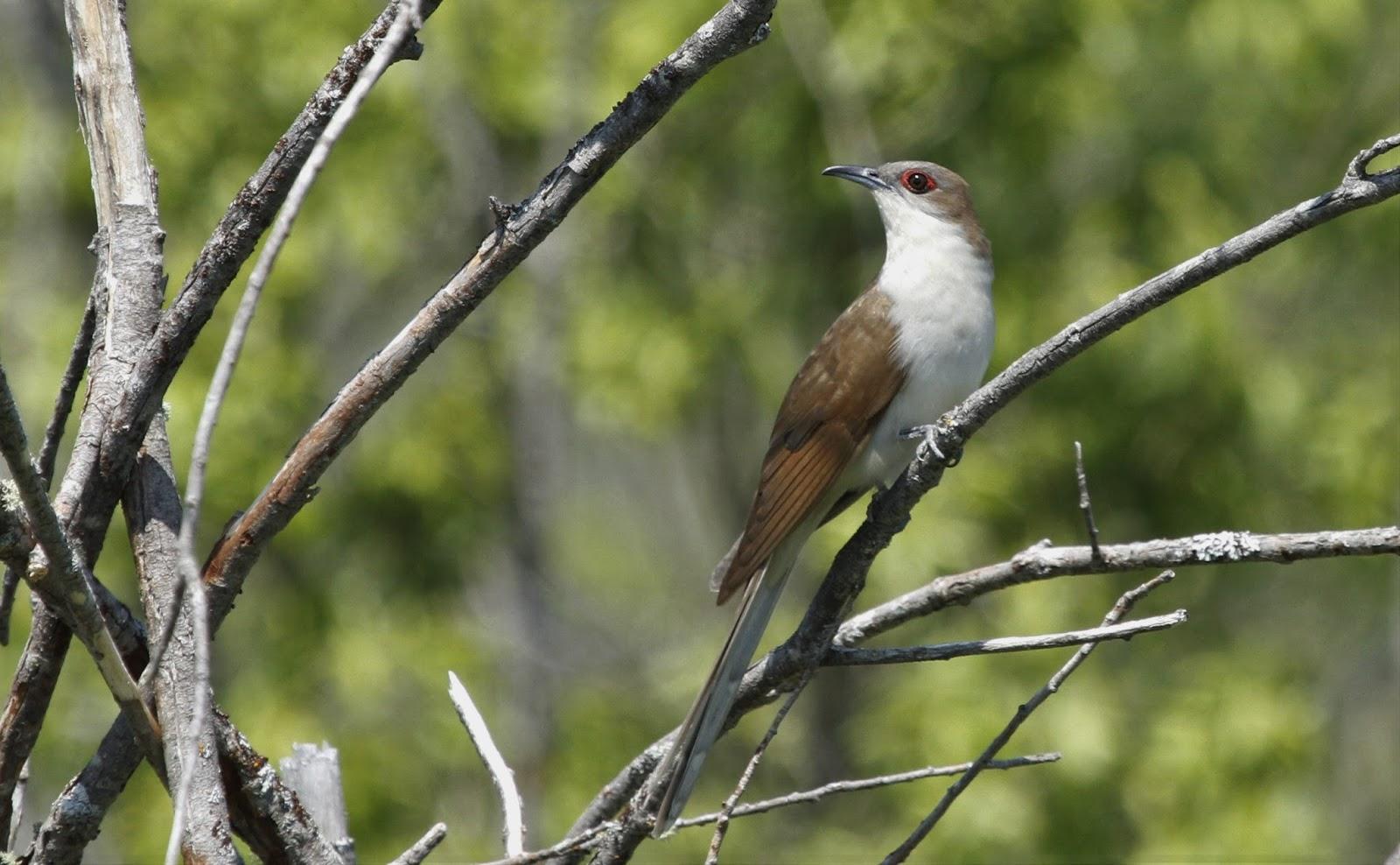 Oiseaux rares du saguenay lac saint jean 25 juin 2016 for 25 juin 2016