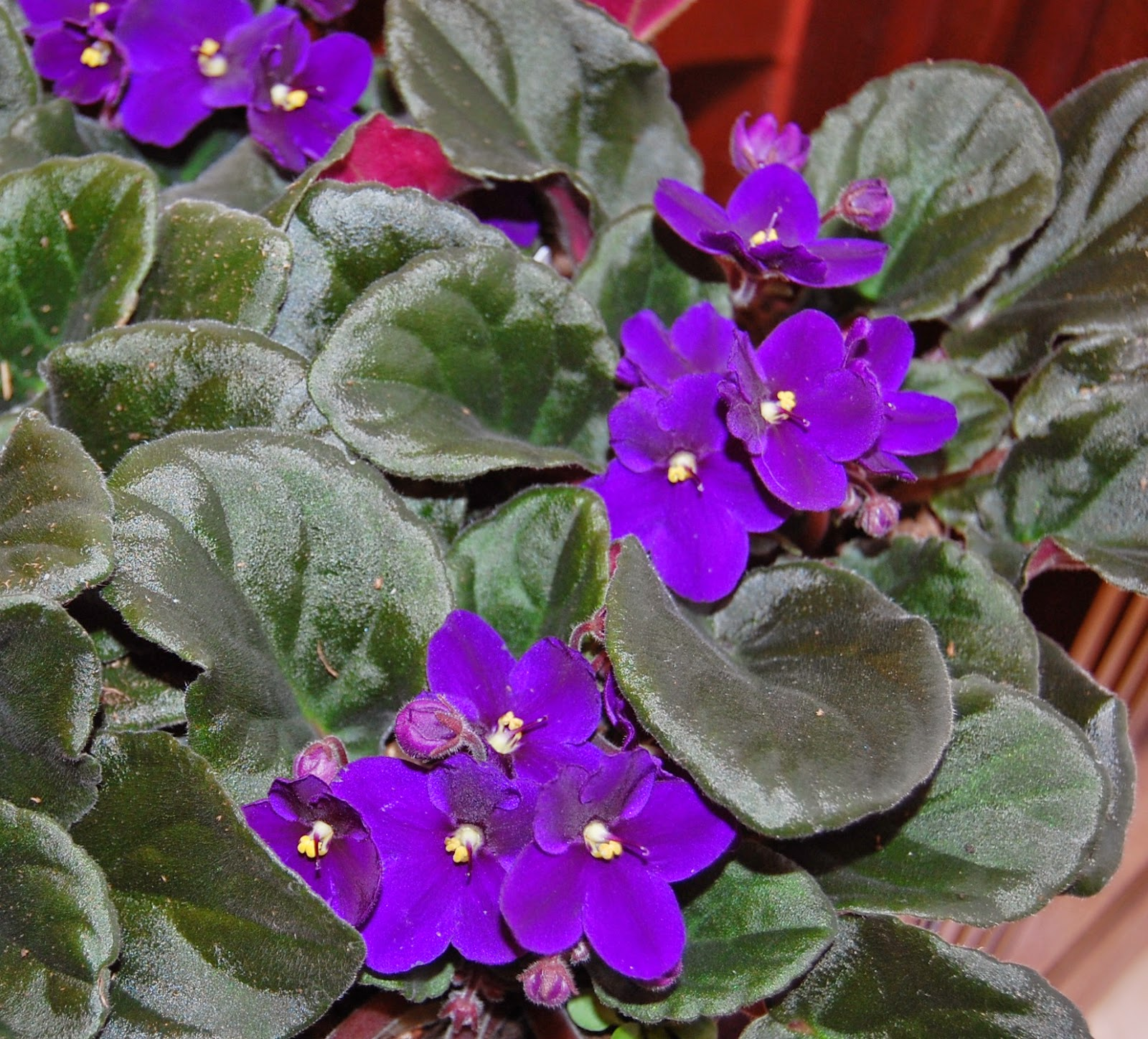 Their Fuzzy Deep Green Leaves And Brightly Colored Purple Flowers Are Sure To Brighten Any Location Although Violets Do Require A Certain Amount Of