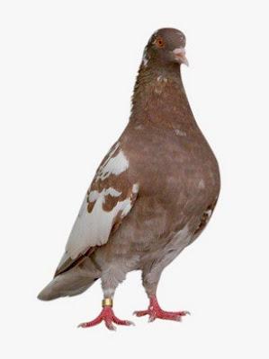 Trik Ampuh Dan Akurat Untuk Mengetahui Karakter Burung Merpati Dari Warna Bulu Yang Sering Juara
