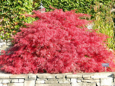 Acer palmatum Crimson Queen Japanese maple fall foliage at Toronto Botanical Garden by garden muses-not another Toronto gardening blog