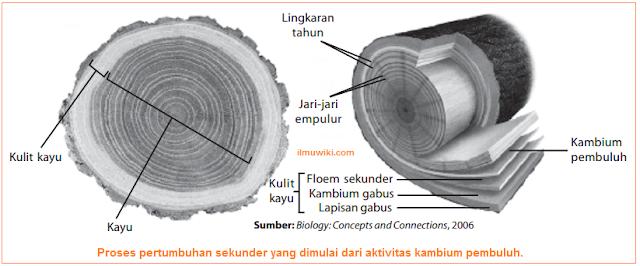 Gambar proses pertumbuhan sekunder yang dimulai dari aktivitas kambium pembuluh.