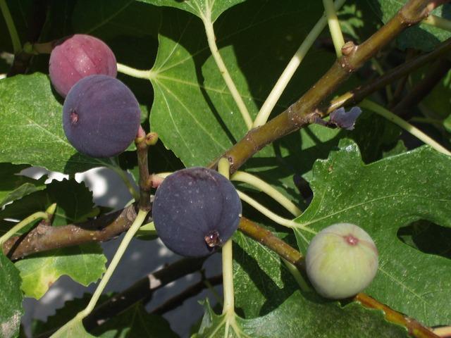 pohon buah tin
