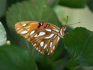 Agraulis vanillae - Papilio vanillae