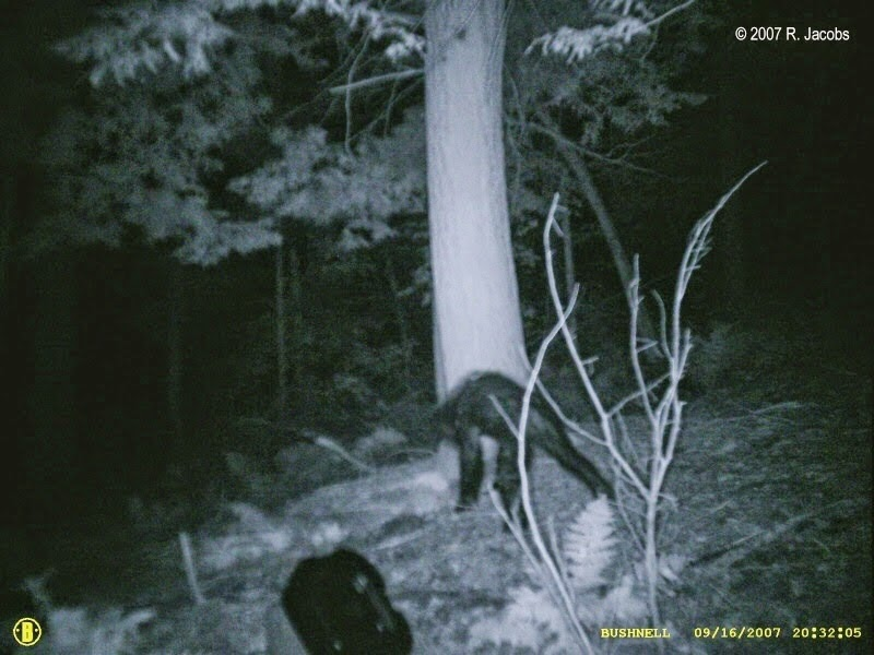 Quot Jacobs Creature Quot Just A Bear Bigfoot Research News
