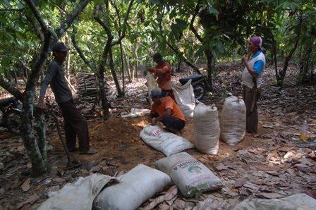 Pemeliharaan pada tanaman kakao yang kurang terawat dan terserang OPT