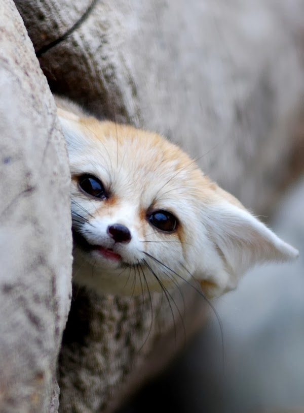 Mindblowing Planet Earth Fennec Fox Is The Most Cute Animal In The World