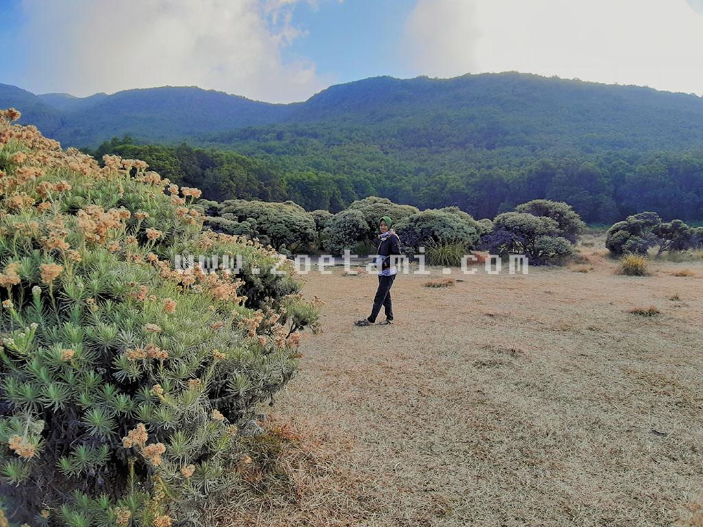 Padang Bunga Edelweis di Papandayan Garut