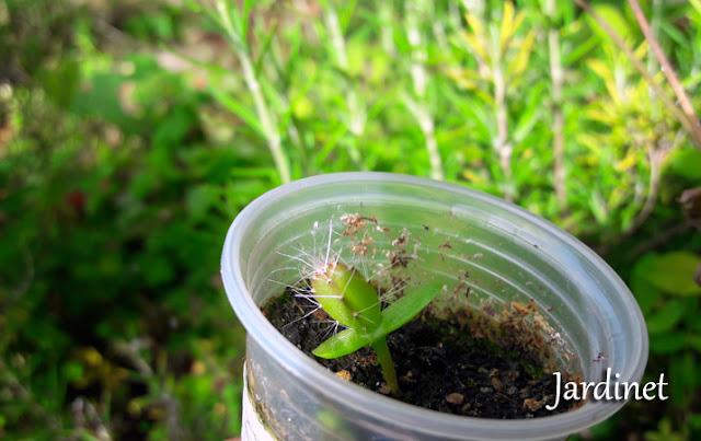 Muda de pitaya com 2 meses de semeadura