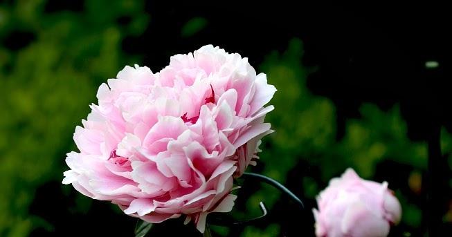 Peonies Benefits Of Light Colors In The Garden