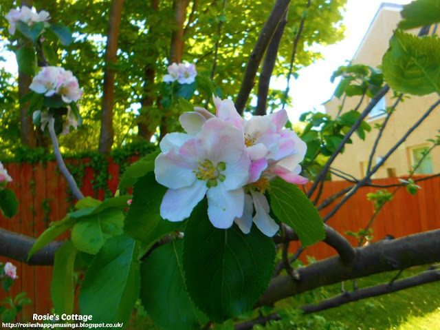 Our tiny tree with its gorgeous apple blossom always makes me smile.
