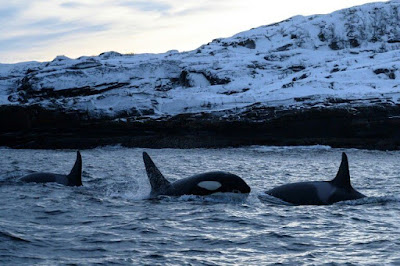 Climate change makes killer whales migrate north planet-today.com