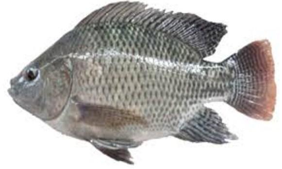 """""""ikan nila gesit"""""""