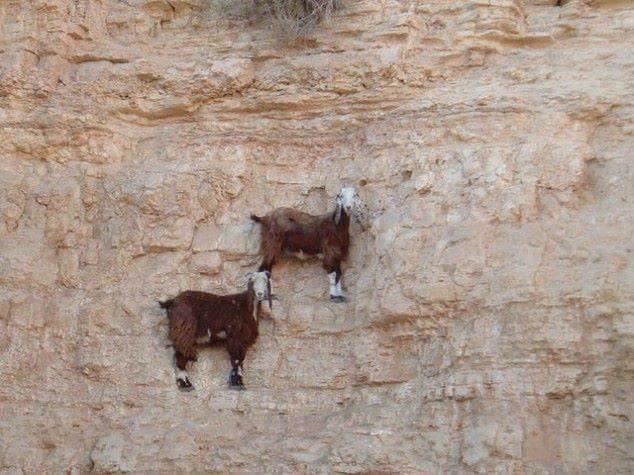 Cabras das Montanhas (Oreamnos americanus)