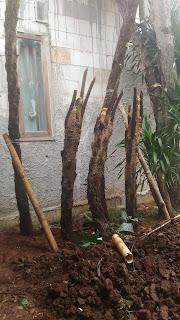 Jual pohon pakis monyet atau pakis hutan murah