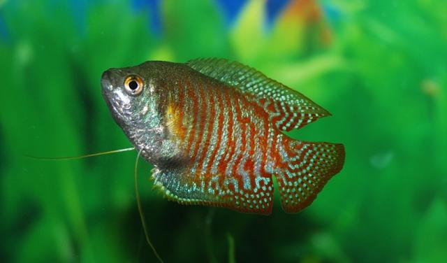 Cara Budidaya Ikan Gurame Untuk Pemula
