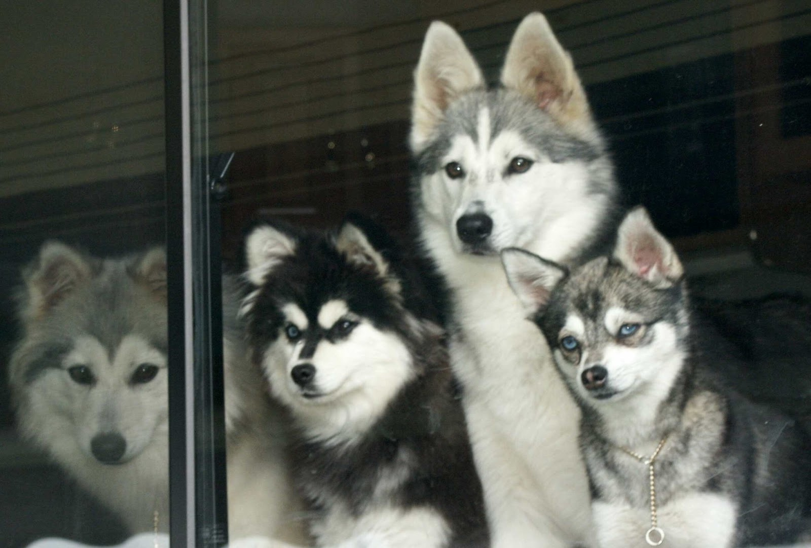 Alaskan Klee Kai | Animals Library